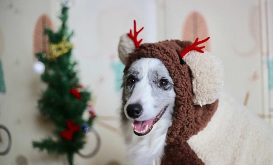 Unbelievably cute dog dressed up in a Christmas reindeer outfit